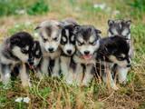 Собаки, щенки Аляскинский маламут, цена 3000 Грн., Фото