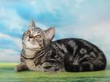 Кішки, кошенята Шотландська висловуха, ціна 2000 Грн., Фото