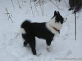Собаки, щенята Російсько-Європейська лайка, ціна 4000 Грн., Фото