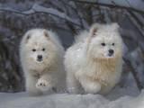 Собаки, щенки Самоед, цена 27000 Грн., Фото