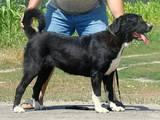 Собаки, щенки Среднеазиатская овчарка, цена 10000 Грн., Фото