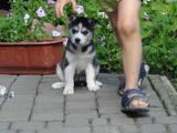 Собаки, щенята Сибірський хаськи, ціна 4300 Грн., Фото