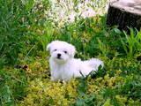 Собаки, щенята Мальтійська болонка, ціна 25000 Грн., Фото