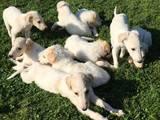 Собаки, щенки Русская борзая, цена 15000 Грн., Фото