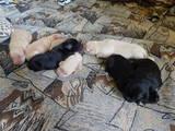Собаки, щенята Лабрадор ретрівер, ціна 2300 Грн., Фото