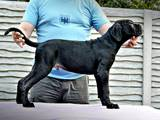 Собаки, щенки Кане Корсо, цена 33000 Грн., Фото