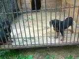 Собаки, щенята Естонський гончак, ціна 1999 Грн., Фото