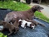 Собаки, щенята Німецька гладкошерста лягава, ціна 3500 Грн., Фото