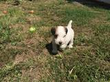 Собаки, щенки Жесткошерстный фокстерьер, цена 1000 Грн., Фото