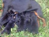 Собаки, щенята Ягдтер'єр, ціна 1200 Грн., Фото