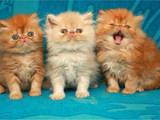 Кошки, котята Персидская, цена 3000 Грн., Фото