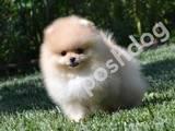Собаки, щенята Померанський шпіц, ціна 47000 Грн., Фото
