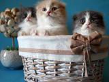 Кошки, котята Шотландская вислоухая, цена 2700 Грн., Фото