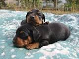 Собаки, щенки Карликовый пинчер, цена 8000 Грн., Фото
