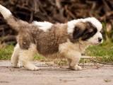 Собаки, щенки Московская сторожевая, цена 7000 Грн., Фото