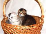 Кішки, кошенята Шотландська висловуха, ціна 5500 Грн., Фото