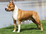 Собаки, щенята Американський стаффордширський тер'єр, ціна 16000 Грн., Фото