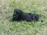 Собаки, щенки Ризеншнауцер, цена 10000 Грн., Фото