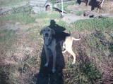 Собаки, щенята Ганноверська гонча, ціна 500 Грн., Фото