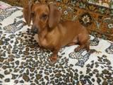 Собаки, щенки Гладкошерстная такса, цена 300 Грн., Фото