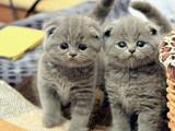 Кішки, кошенята Британська короткошерста, ціна 2000 Грн., Фото
