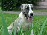 Собаки, щенки Среднеазиатская овчарка, цена 6000 Грн., Фото
