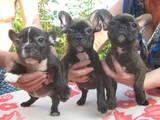 Собаки, щенки Французский бульдог, цена 4500 Грн., Фото