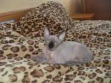 Кішки, кошенята Канадський сфінкс, ціна 3500 Грн., Фото
