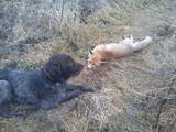 Собаки, щенята Німецька жорсткошерста лягава, ціна 700 Грн., Фото