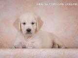 Собаки, щенки Золотистый ретривер, цена 12500 Грн., Фото