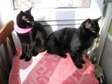 Кішки, кошенята Бомбейська, ціна 1000 Грн., Фото
