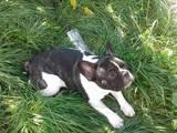 Собаки, щенята Французький бульдог, ціна 6200 Грн., Фото