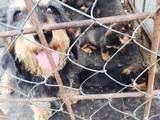 Собаки, щенки Жесткошерстная такса, цена 3000 Грн., Фото