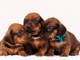 Собаки, щенята Гладкошерста такса, ціна 2700 Грн., Фото