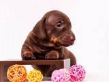 Собаки, щенки Гладкошерстная такса, цена 2700 Грн., Фото