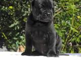 Собаки, щенки Кане Корсо, цена 100 Грн., Фото