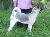 Собаки, щенята Американський акіта, ціна 15500 Грн., Фото