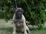 Собаки, щенки Бульмастиф, цена 26000 Грн., Фото