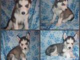 Собаки, щенки Сибирский хаски, цена 3500 Грн., Фото