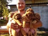 Собаки, щенки Бордосский дог, цена 10000 Грн., Фото