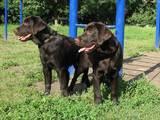 Собаки, щенята Лабрадор ретрівер, ціна 12500 Грн., Фото
