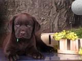 Собаки, щенки Лабрадор ретривер, цена 10000 Грн., Фото