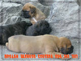Собаки, щенки Боксер, цена 3500 Грн., Фото