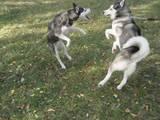 Собаки, щенята Сибірський хаськи, ціна 3000 Грн., Фото