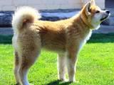 Собаки, щенки Акита-ину, цена 24999 Грн., Фото