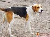 Собаки, щенята Естонський гончак, ціна 700 Грн., Фото