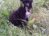 Собаки, щенята Китайська чубата собака, ціна 3000 Грн., Фото