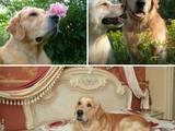 Собаки, щенята Золотистий ретрівер, ціна 9 Грн., Фото