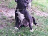 Собаки, щенки Американский стаффордширский терьер, цена 2500 Грн., Фото