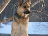 Собаки, щенки Восточно-Европейская овчарка, цена 6500 Грн., Фото